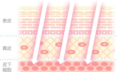 皮膚細胞組織イラスト